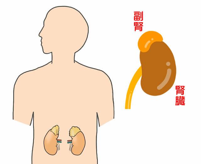 副腎と位置
